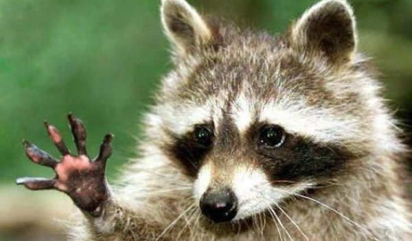 Louisville Raccoon Removal 502-553-7622