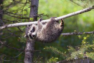 Louisville Raccoon Removal 502-553-7622