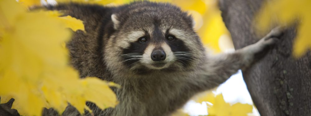Raccoon Removal Louisville