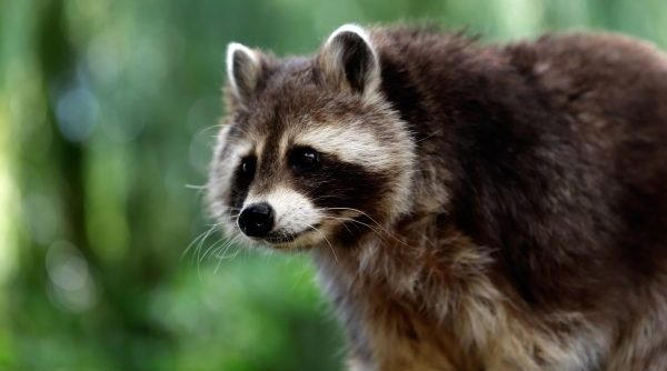 Louisville Raccoon Removal and Control