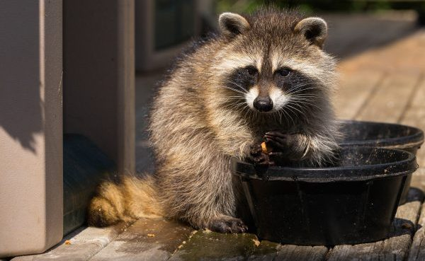 Raccoon Removal and Control 502-553-7622
