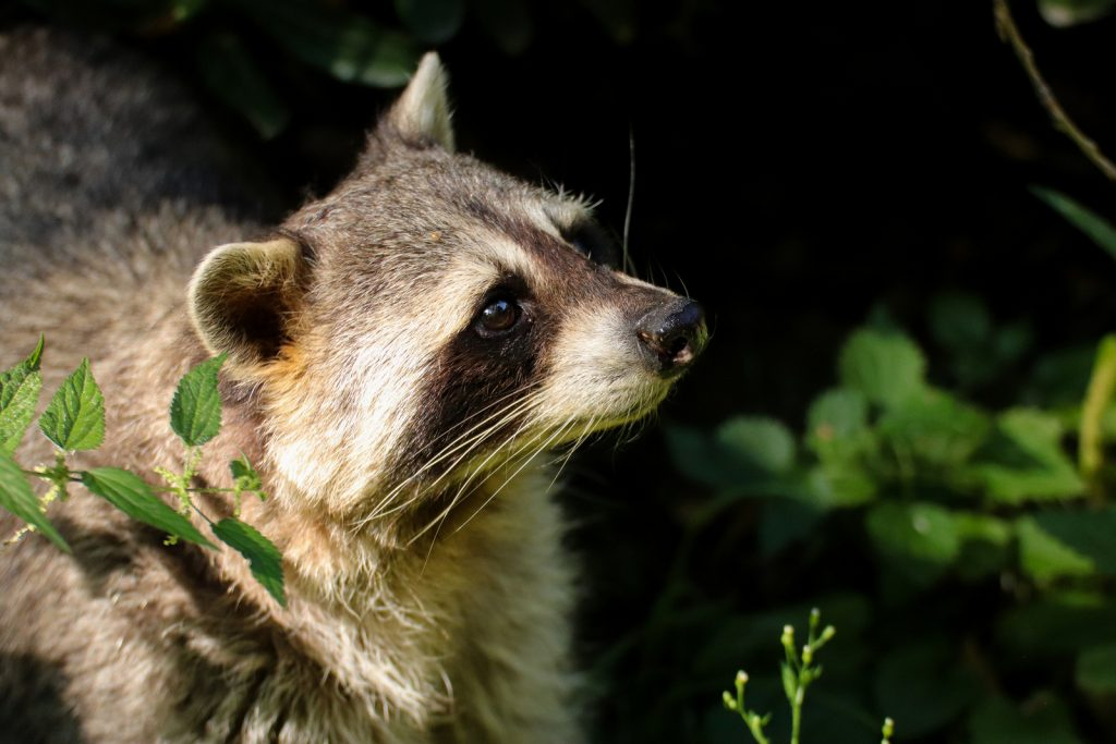 Louisville Raccoon Removal and Control 502-553-7622