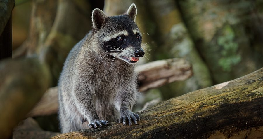 Louisville Raccoon Removal and Control Services