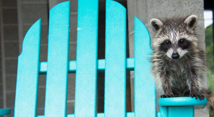 Non-Lethal Raccoon Control