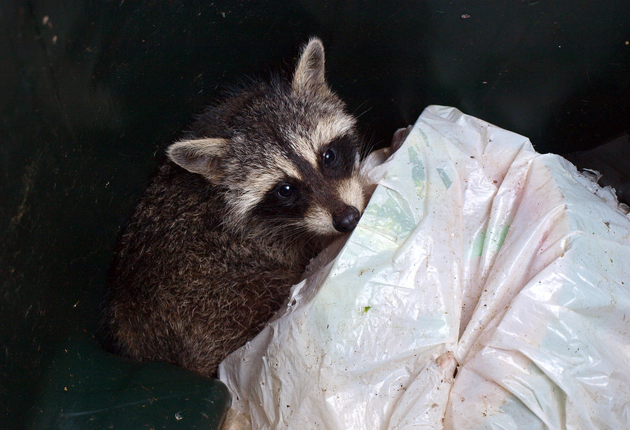 Louisville Raccoon Removal